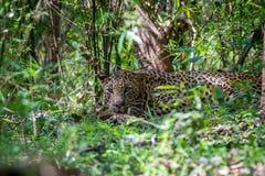 Κρυμμένη λεοπάρδαλη Στοκ εικόνες με δικαίωμα ελεύθερης χρήσης