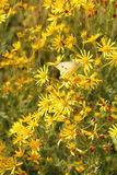 Κρυμμένη πεταλούδα στα κίτρινα λουλούδια Στοκ Εικόνες