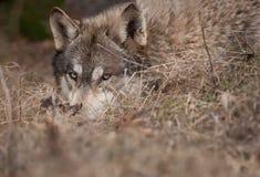 κρυμμένος λύκος ξυλεία&sigma στοκ φωτογραφία