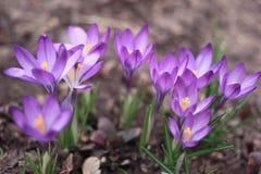 Κρόκοι - μικρές, ελατήριο-ανθίζοντας εγκαταστάσεις με τα πορφυρά λουλούδια Στοκ εικόνες με δικαίωμα ελεύθερης χρήσης