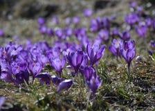 Κρόκοι, λουλούδια της πρώτης άνοιξης Στοκ φωτογραφίες με δικαίωμα ελεύθερης χρήσης