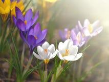 Κρόκοι στον ήλιο Στοκ εικόνες με δικαίωμα ελεύθερης χρήσης
