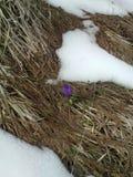 Κρόκος άνοιξη μεταξύ των ξηράς φύλλων και της χλόης και του λειώνοντας χιονιού Στοκ Φωτογραφίες