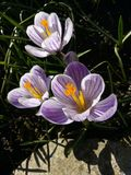Κρόκος Κρόκος άνοιξη στο φως τέχνης φωτός του ήλιου Μοναδικό χρώμα του λουλουδιού κρόκων άνοιξη στον κήπο Καμία μετα διαδικασία M Στοκ Φωτογραφίες