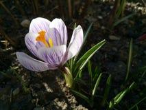 Κρόκος Κρόκος άνοιξη στο φως τέχνης φωτός του ήλιου Μοναδικό χρώμα του λουλουδιού κρόκων άνοιξη στον κήπο Καμία μετα διαδικασία M Στοκ Εικόνες