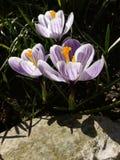 Κρόκος Κρόκος άνοιξη στο φως τέχνης φωτός του ήλιου Μοναδικό χρώμα του λουλουδιού κρόκων άνοιξη στον κήπο Καμία μετα διαδικασία M Στοκ φωτογραφίες με δικαίωμα ελεύθερης χρήσης