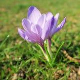 Κρόκος, η πρώτη άνθιση λουλουδιών άνοιξη την πρώιμη άνοιξη με το colo Στοκ φωτογραφία με δικαίωμα ελεύθερης χρήσης