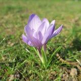 Κρόκος, η πρώτη άνθιση λουλουδιών άνοιξη την πρώιμη άνοιξη με το colo Στοκ Εικόνες
