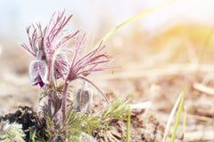 Κρόκος λιβαδιών, cutleaf anemone Στοκ Φωτογραφίες