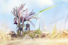 Κρόκος λιβαδιών, cutleaf anemone Στοκ φωτογραφίες με δικαίωμα ελεύθερης χρήσης