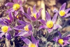 Κρόκος λιβαδιών, cutleaf anemone Στοκ εικόνες με δικαίωμα ελεύθερης χρήσης