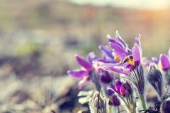 Κρόκος λιβαδιών, cutleaf anemone Στοκ Εικόνα