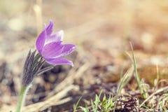 Κρόκος λιβαδιών, cutleaf anemone Στοκ Εικόνες