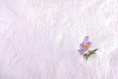 Κρόκος ριγωτό σε ευρύ χιονιού Στοκ εικόνες με δικαίωμα ελεύθερης χρήσης