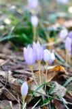 Κρόκος φθινοπώρου - Colchicum autumnale Στοκ φωτογραφίες με δικαίωμα ελεύθερης χρήσης