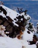 κρύα αλεπού Στοκ Εικόνες