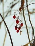 Κρύα ροδοκόκκινα φρούτα στοκ εικόνες με δικαίωμα ελεύθερης χρήσης