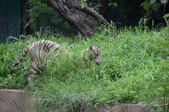 Κρύβοντας άσπρη τίγρη Στοκ φωτογραφίες με δικαίωμα ελεύθερης χρήσης