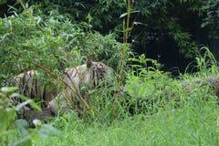 Κρύβοντας άσπρη τίγρη Στοκ Φωτογραφία
