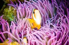 Κρύβοντας κολύμβηση Bunaken Sulawesi, υποβρύχιο Amphiprion clarkii του Clark Anemonefish της Ινδονησίας Στοκ Φωτογραφία