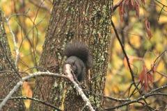 Κρύβοντας σκίουρος πίσω από έναν κλάδο! στοκ φωτογραφίες με δικαίωμα ελεύθερης χρήσης