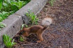 Κρύβοντας τρόφιμα Squirrrel κάτω από τη συγκράτηση Στοκ φωτογραφία με δικαίωμα ελεύθερης χρήσης
