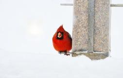 Κρύος και πεινασμένος καρδινάλιος Στοκ φωτογραφίες με δικαίωμα ελεύθερης χρήσης