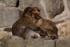 κρύο Βαρβαρίας macaques Στοκ εικόνες με δικαίωμα ελεύθερης χρήσης
