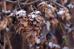 Κρύσταλλα του χιονιού σε ένα ξηρό λουλούδι λυκίσκου Μαραμένα clos λουλουδιών λυκίσκου Στοκ φωτογραφία με δικαίωμα ελεύθερης χρήσης