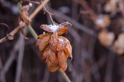 Κρύσταλλα του χιονιού σε ένα ξηρό λουλούδι λυκίσκου Μαραμένα clos λουλουδιών λυκίσκου Στοκ Φωτογραφίες