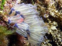 κρύσταλλο ascidia στοκ εικόνα με δικαίωμα ελεύθερης χρήσης