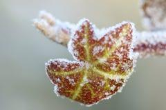 Κρύσταλλα πάγου που διαμορφώνουν στο κόκκινο που αναρριχείται στο φύλλο αμπέλων κισσών Στοκ Φωτογραφίες