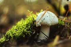 Κρύψιμο μανιταριών Στοκ Εικόνα