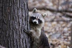 Κρύψιμο ρακούν πίσω από ένα δέντρο Στοκ Εικόνα