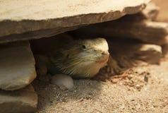 Κρύψιμο σαυρών Pogona vitticeps κάτω από έναν βράχο στοκ φωτογραφία με δικαίωμα ελεύθερης χρήσης