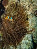 Κρύψιμο Clownfish στα πλοκάμια του οικοδεσπότη του Στοκ Εικόνα