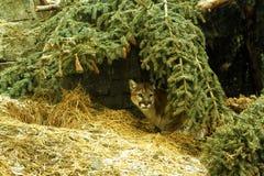 Κρύψιμο Cougar στοκ εικόνες