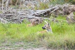 Κρύψιμο Hyena στην Κένυα Στοκ φωτογραφία με δικαίωμα ελεύθερης χρήσης