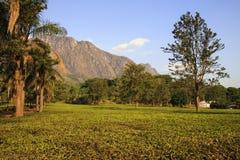 Κτήμα τσαγιού - ορεινός όγκος Mulanje στοκ εικόνα με δικαίωμα ελεύθερης χρήσης