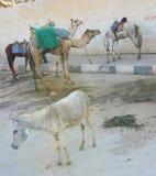 Κτήνη του φορτίου, Giza, περιοχή του Καίρου, Αίγυπτος Στοκ Εικόνα