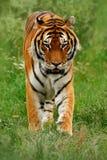 Κτήνος του θηράματος Amur ή της σιβηρικής τίγρης, altaica Panthera Τίγρης, που περπατά στη χλόη Στοκ Φωτογραφία