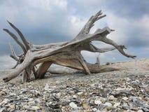 κτήνος driftwood Στοκ φωτογραφία με δικαίωμα ελεύθερης χρήσης
