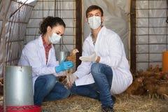 Κτηνίατροι στα άσπρα παλτά στο κοτέτσι Στοκ Φωτογραφία