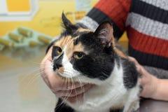 Κτηνίατρος εξέτασης γατών Στοκ φωτογραφία με δικαίωμα ελεύθερης χρήσης