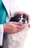 Κτηνίατρος και σκυλί, Chihuahua Στοκ Εικόνα