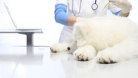 Κτηνίατρος με τη σύριγγα που κάνει την έγχυση εμβολίων στο σκυλί απόθεμα βίντεο