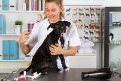 Κτηνίατρος με το σκυλί του αμερικανικό Staffordshire Στοκ φωτογραφίες με δικαίωμα ελεύθερης χρήσης