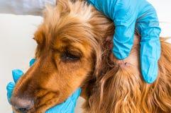 Κτηνίατρος που απομακρύνει έναν κρότωνα από το σκυλί σπανιέλ κόκερ στοκ φωτογραφία