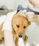 Κτηνίατρος που εξετάζει ένα dog& x27 αυτί του s με ένα ωτοσκόπιο Στοκ φωτογραφία με δικαίωμα ελεύθερης χρήσης