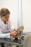 Κτηνίατρος που εξετάζει λίγη γάτα Στοκ Εικόνες